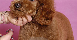 Dog Grooming in Westchester
