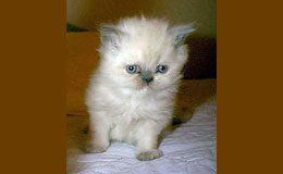 Himalayan Kittens For Sale New York Westchester