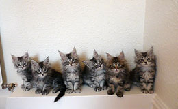 Maine Coon Kittens For Sale New York Westchester
