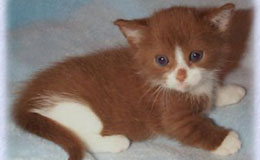Munchkin Kittens For Sale New York Westchester