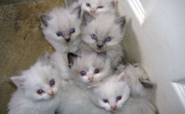 Ragdoll Kittens For Sale New York Westchester