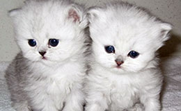 Persian Kittens For Sale New York Westchester