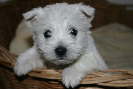 Westies Westhighland Terrier Puppies For Sale In Westchester