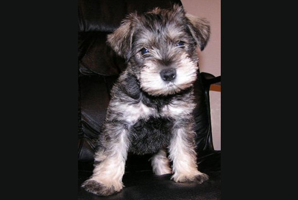 Mini Schnauzers Puppies For Sale In Westchester New York