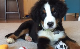 Bernese-from-Westchester-puppies