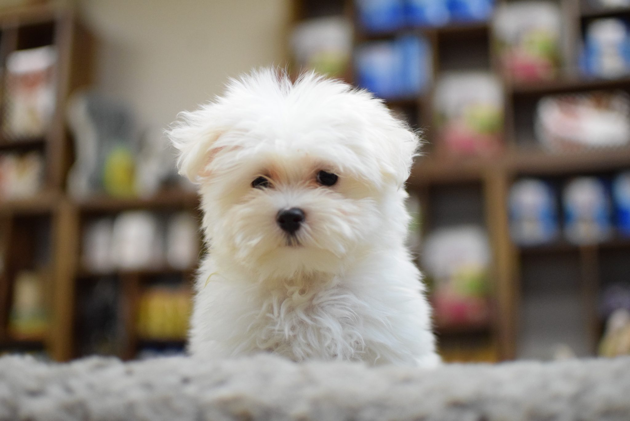 Teacup Toy Puppies For Sale In Westchester New York