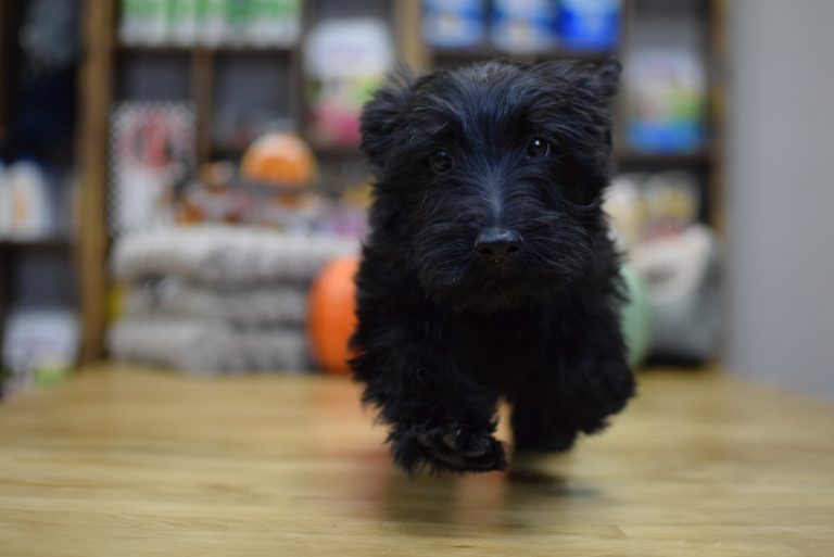 Scotties Scottish Terriers Puppies For Sale In Westchester Ny