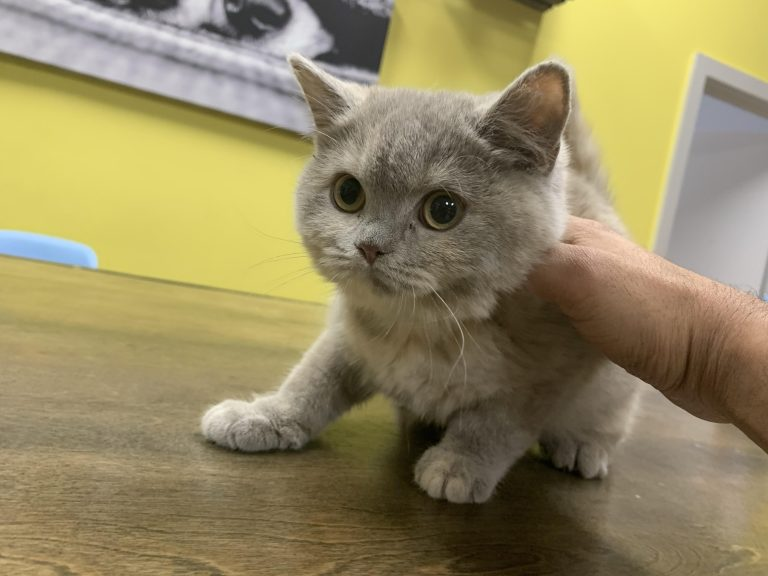 British Short Hair Kittens For Sale In Westchester Ny